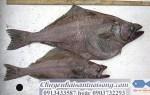 Bán cá Bơn Hàn Quốc – giao hàng tận nơi – mua cá Bơn Hàn Quốc ở đâu