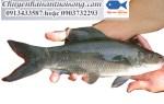 Cá Dầm Xanh – nơi bán cá Dầm Xanh – giá mua bao nhiêu 1kg
