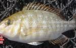Giá cá gáy biển tươi và cách chế biến