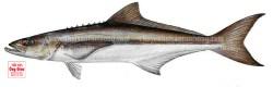 Bán cá giò sống tươi ngon giá tốt nhất