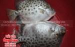 Mua cá nâu tươi sống ở tại TP. Hồ Chí Minh hôm nay giá bao nhiêu