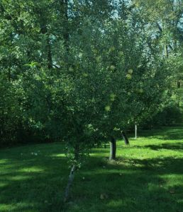 Our dad's Mac's Golden Apple Trees