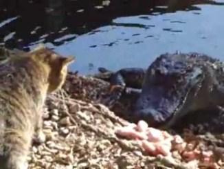 Gato vs Cocodrilo