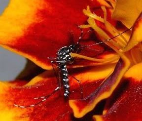 nctar mosquito