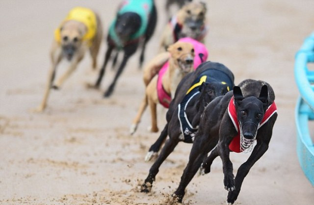 Bet On Live Greyhound Racing Online