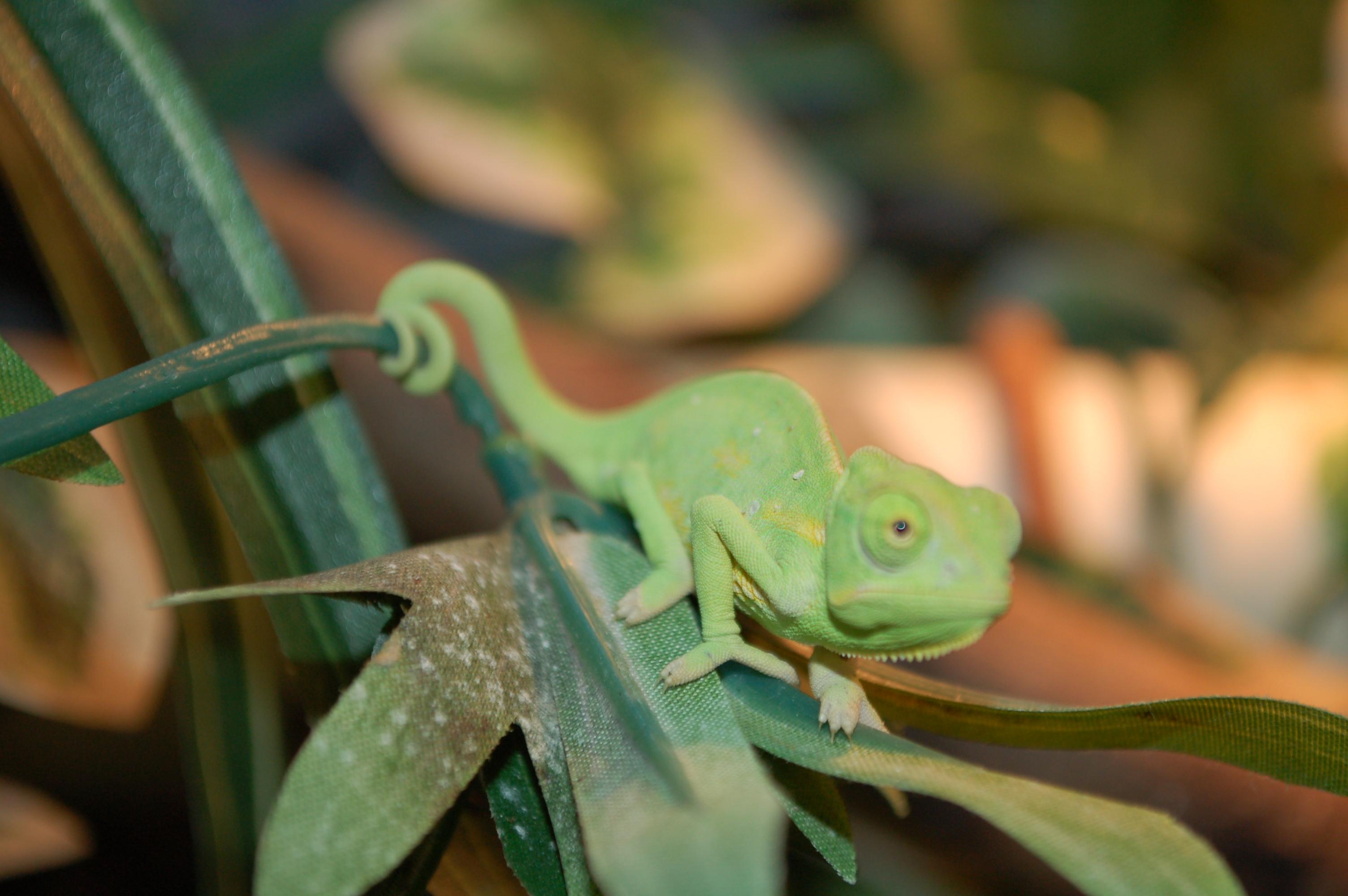 Cute Leopard Gecko Wallpaper Female Baby Veiled Chameleon Www Pixshark Com Images