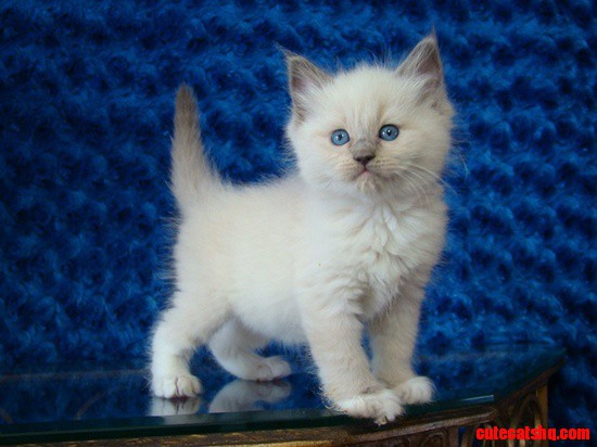 Cute Little Gray Cat For Wallpaper Ragdoll Kitten Cute Cats Hq Pictures Of Cute Cats And