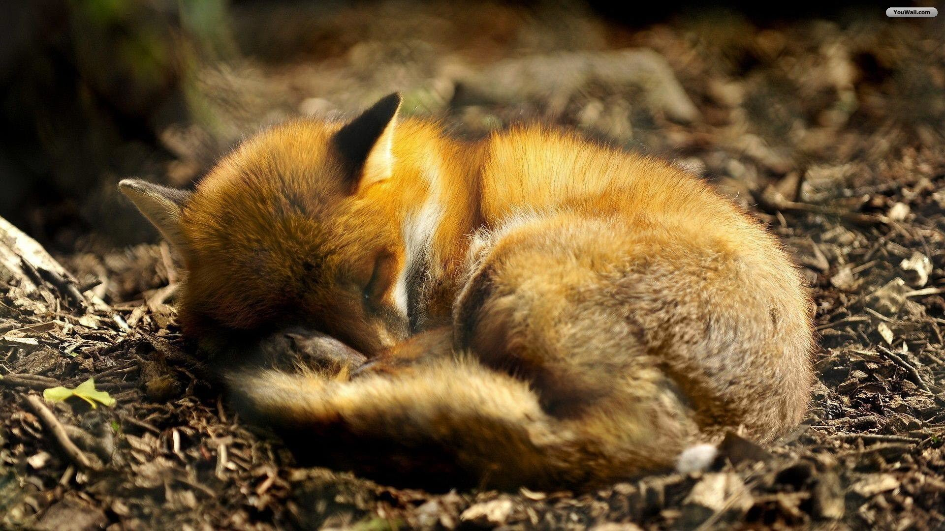 The Cute Wallpapers Ever For Computer Fox Cuteconnoisseur