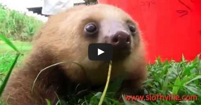 Are Newborn Babies Quiet Squeaky Baby Sloths Cuteness Overflow