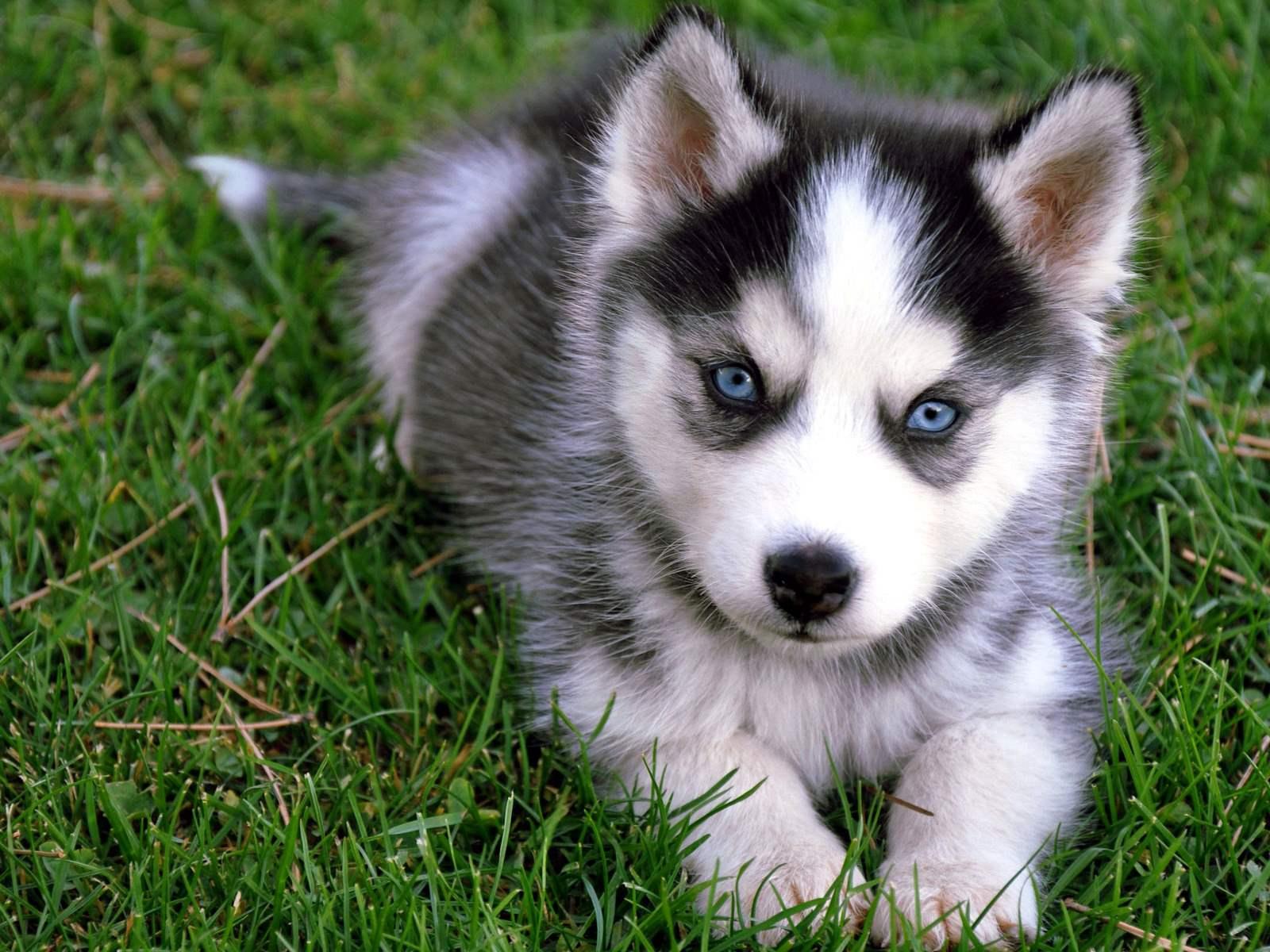 Fullsize Of Cute Husky Puppies