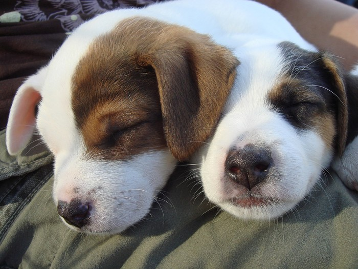 Small Cute Puppy Wallpapers Two Headed Dog Baffles Experts Cutetropolis