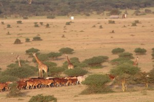 Just South of the National Park, the Athi-Plains (Kitengela Dispersal Area), willdlife and cattle co-exist.