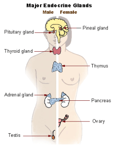 major endocrine glands