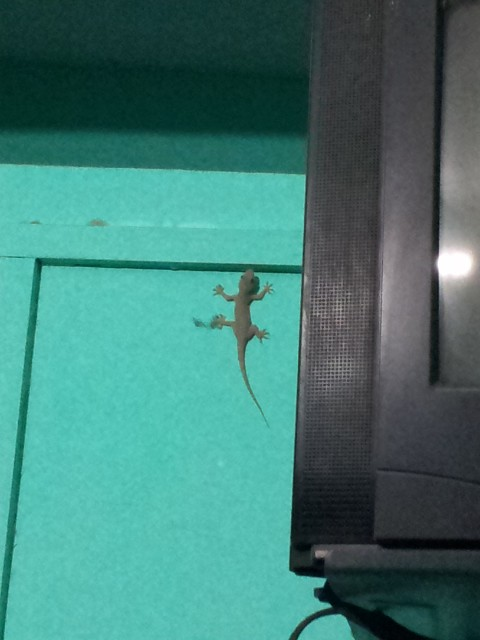 A little Gekko shared my room in Dhule, much better company than the cockroaches in Mumbai.