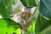 Hummingbird Nest Picture