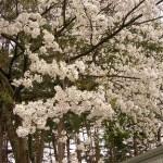 山形県 春のお出かけ、銀山温泉と鮭川のトトロの木を巡る旅