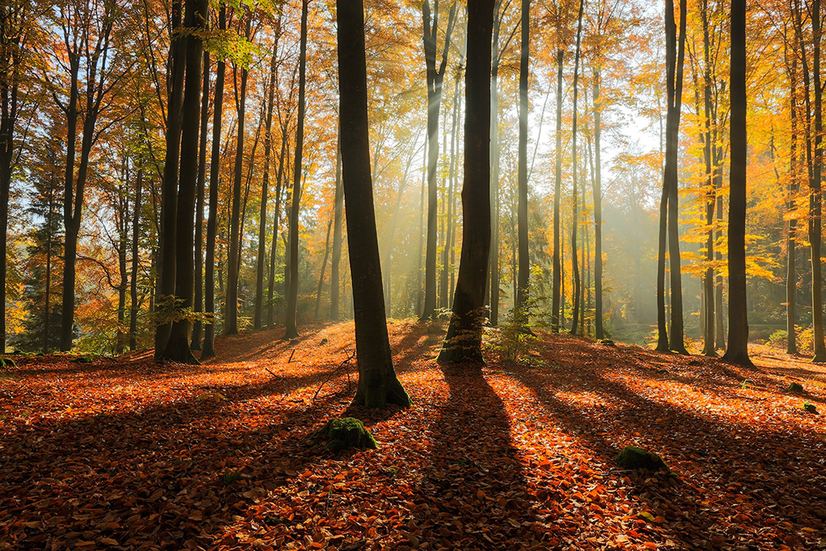 4k Central Park In The Fall Wallpaper Morning Forest Light In North Poland 1200x800 By Mateusz