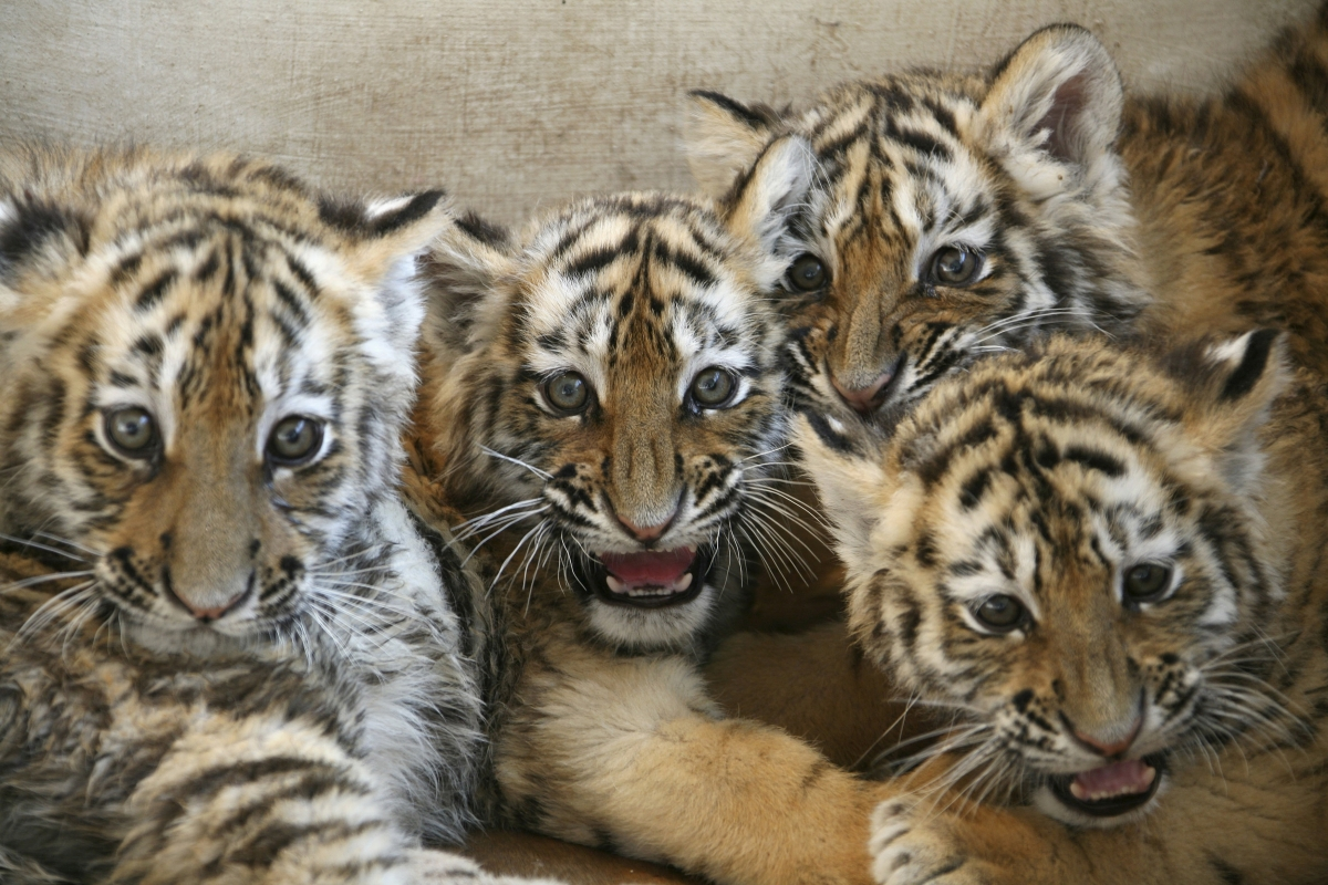 Cute Piano Wallpaper China Admits Allowing Captive Tiger Skin Trade For First Time
