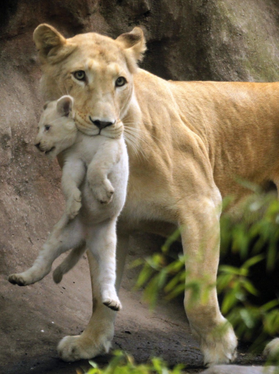 Cute Lion Cubs Hd Wallpapers Mother And Baby Best Photos Of Animal Bonding Slideshow