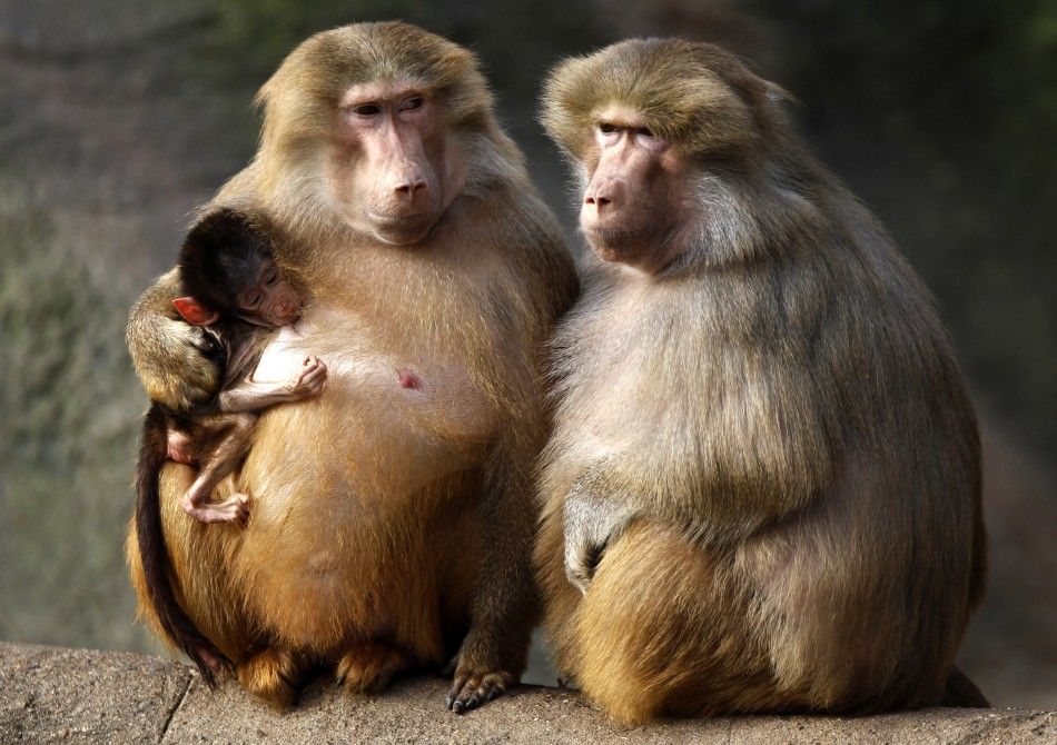 Cute Indian Baby Images For Wallpaper Stem Cell Surgeons Restore Severely Damaged Baboon Artery