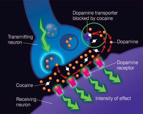 How Does Cocaine Produce Its Effects National Institute