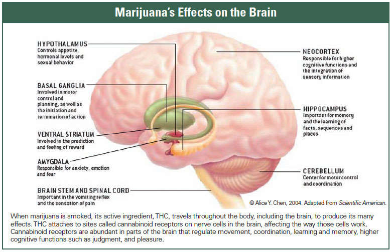 How does marijuana produce its effects? National Institute on Drug