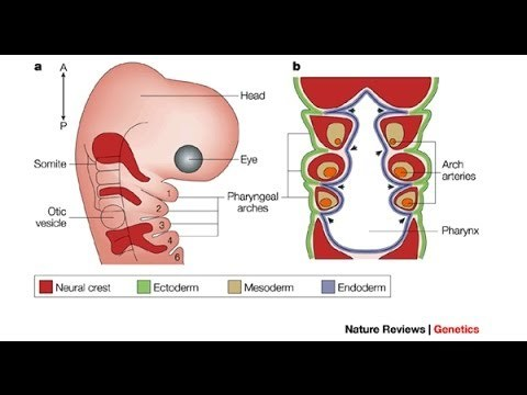 Medical Video Lectures Anatomy Of Pharyngeal Arches (Branchial