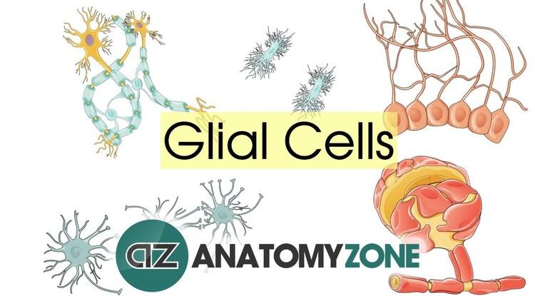 Glial Cells - Neuroanatomy Basics - Anatomy Tutorial on Meducation
