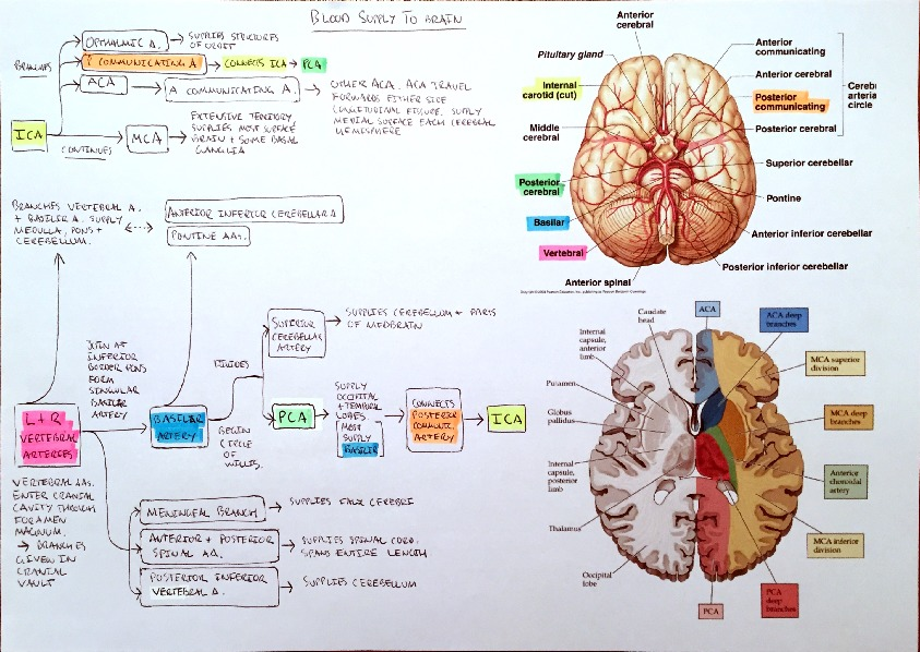 Flowchart - Blood Supply to The Brain and Venous Sinus Drainage of