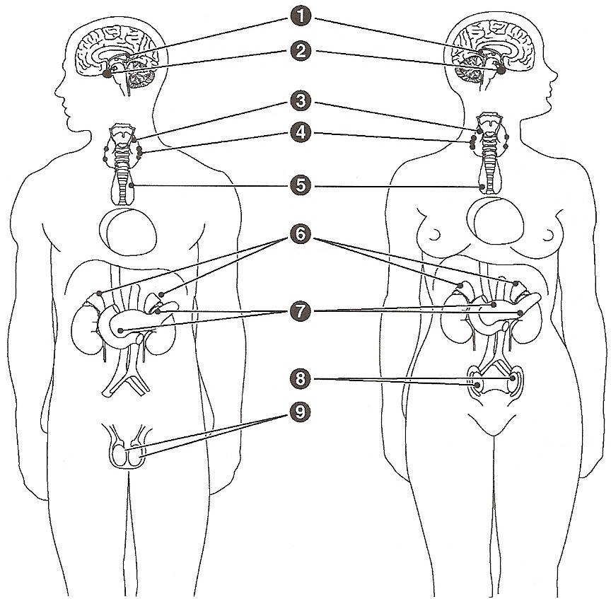 endocrine system coloring page
