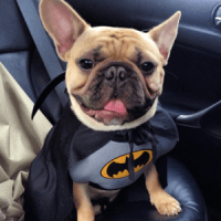 French Bulldog Costume - Top 10 for a Frenchie Halloween