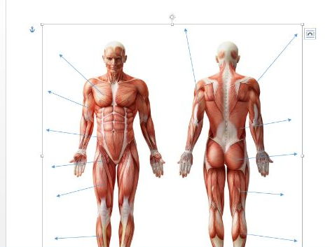 Edexcel New GCSE PE 9-1 Muscles of the Body diagram and separate