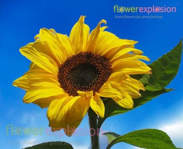 Gerbera Flower Vase Life Wholesale Large Natural Yellow Sunflowers For Wedding