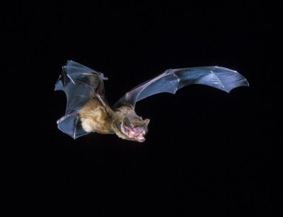 Bats may struggle to hunt in warmer world | New Scientist