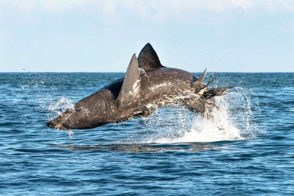 Shark Attack 3d Live Wallpaper Peaceful Basking Sharks Can Leap Just As Powerfully As