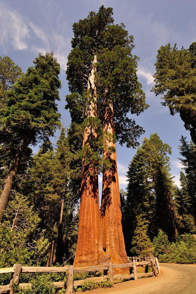 sequoia-666899_1280