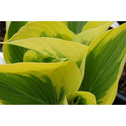 Small Crop Of When To Transplant Hostas