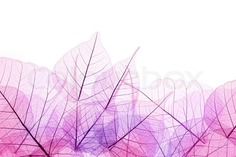 Fall Feather Wallpaper Pink And Purple Border Of Transparent Leaves Isolated On