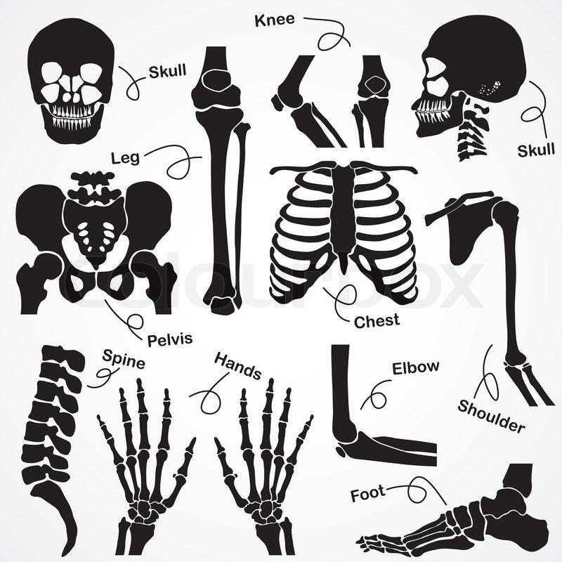 diagram of human pelvis