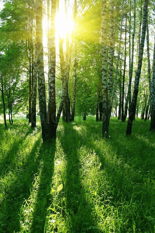 Wild Forest 3d Wallpaper Birken Mit Langen Schatten Im Sommer Wald Stockfoto