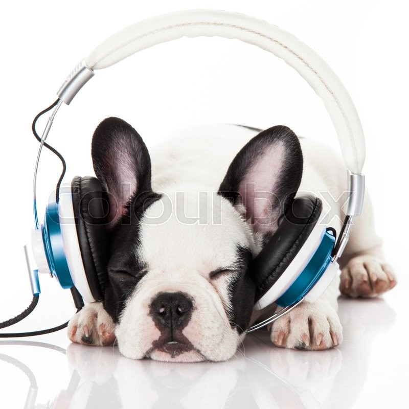 Cute Baby Bulldog Wallpaper Dog Listening To Music With Headphones Isolated On White