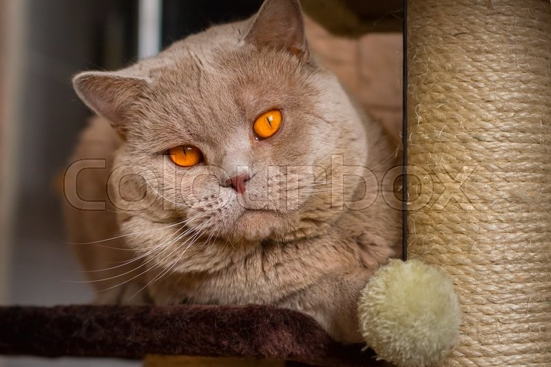 Cute Kitty Wallpapers Free Close Up Portrait British Shorthair Lilac Cat With Orange