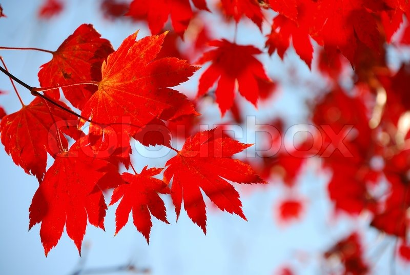 Falling Maple Leaves Wallpaper Red Maple Leaves On The Blue Sky Stock Photo Colourbox