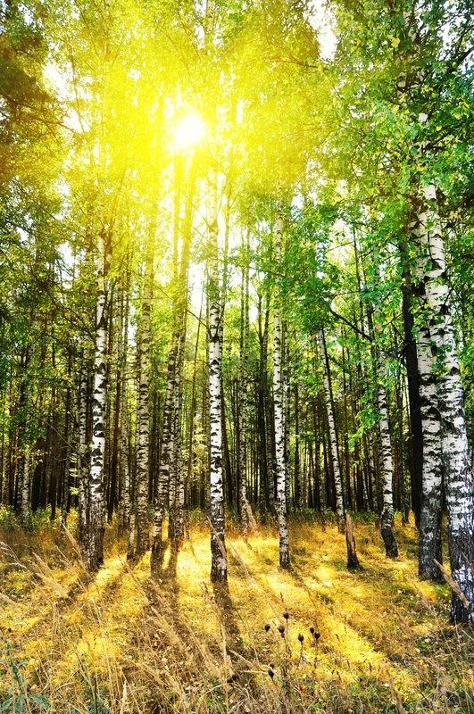 Maine Fall Foliage Wallpaper Birch Trees In A Summer Or Autumn Forest Stock Photo