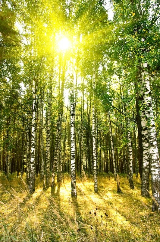 Fall In Maine Wallpaper Birch Trees In A Summer Or Autumn Forest Stock Photo