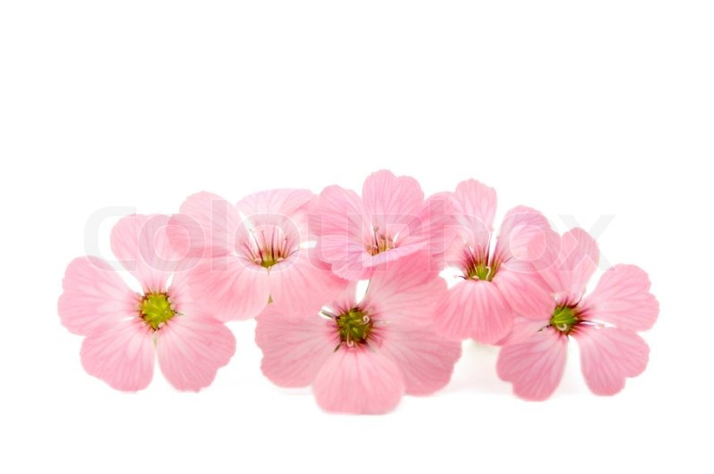 Happy Mothers Day Hd Wallpaper Delicate Pink Flowers On A White Background Stock Photo