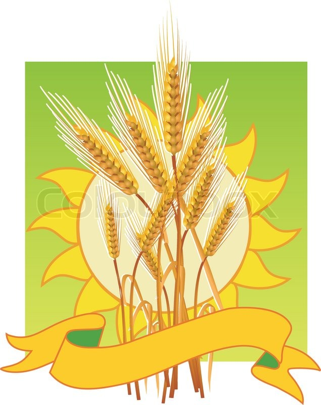 Ripe yellow wheat ears, agricultural illustration, template Stock - wheat template
