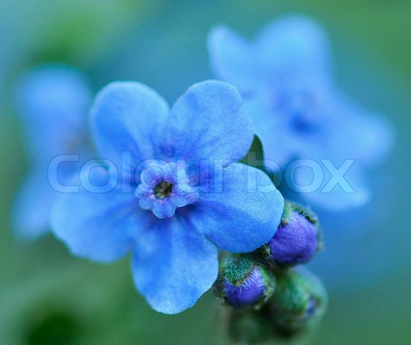 Small blue flowers , close up Stock Photo Colourbox