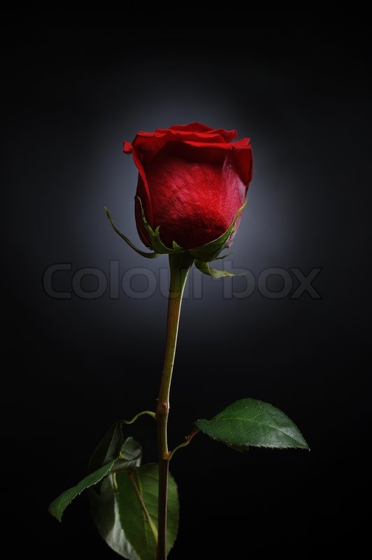 Drop Of Water Falling From A Leaf Wallpaper Beautiful Red Rose With Dew Drops On A Black Background