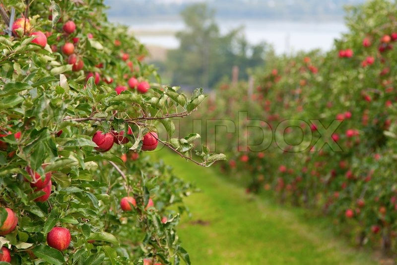 Fall Flowers Wallpaper Free Apple Garden Full Of Riped Red Apples Stock Photo
